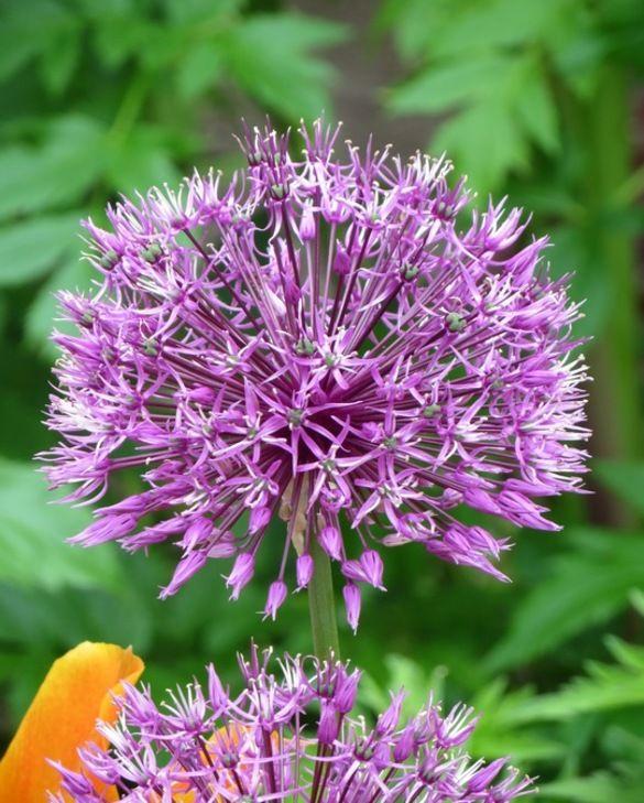 Allium Rosenbachianum