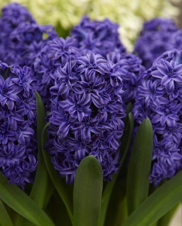 Hyacinth Double Royal Navy