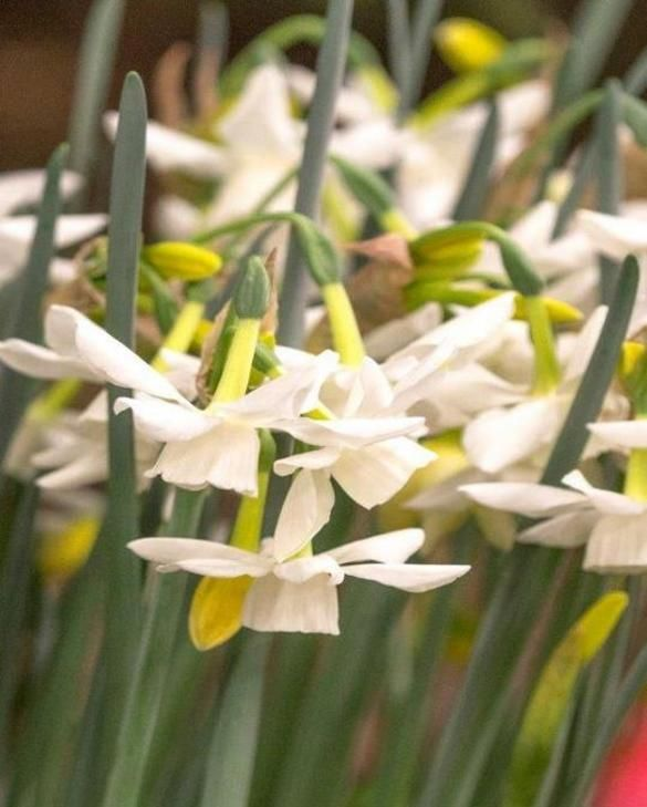 Narcisse Starlight Sensation