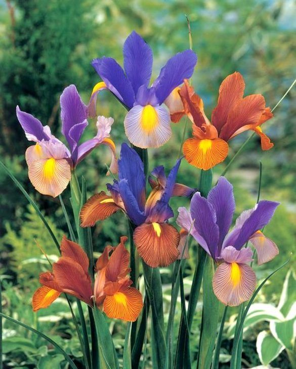 Dutch Iris Tiger Stripe Mixture