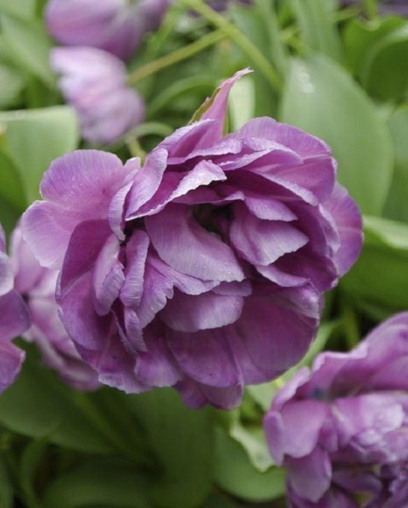 Tulip Blue Diamond