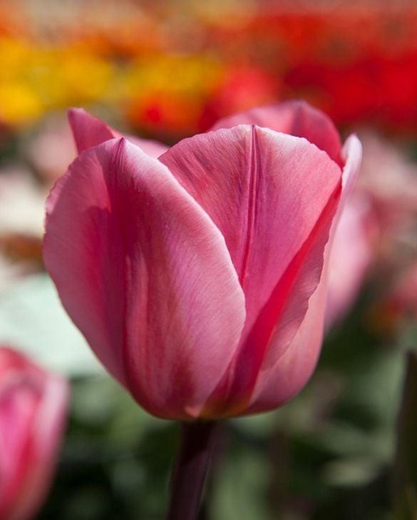 Tulip Albert Heijn