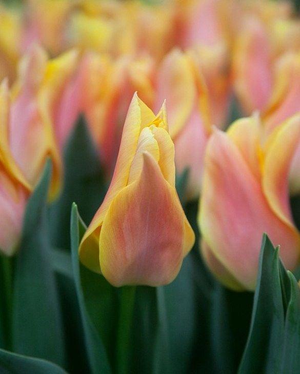 Tulip Marianne