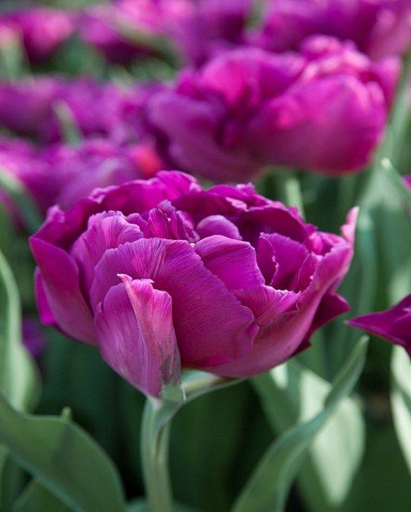 Tulip Showcase