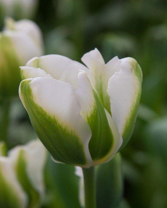 Tulip Twilight Princess