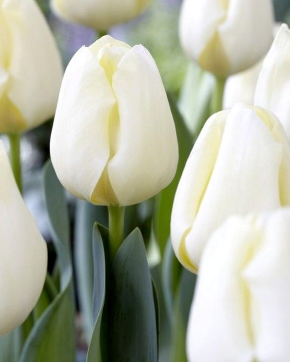 Tulip Cheers