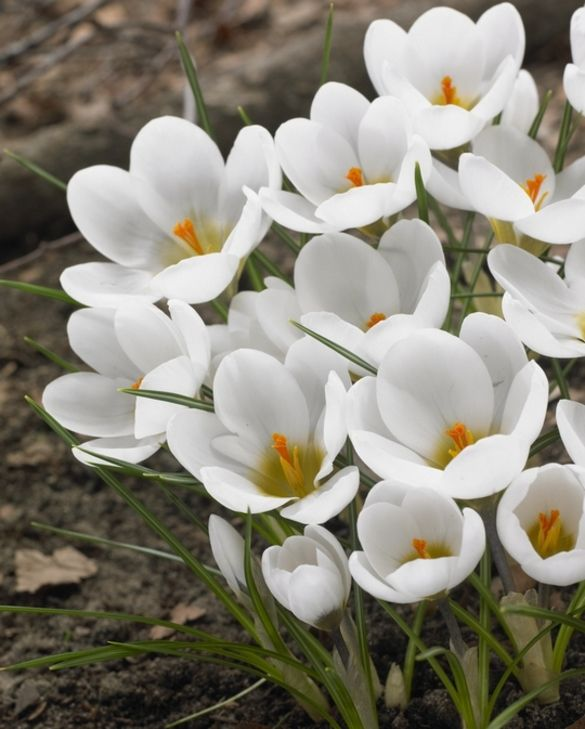 Crocus Chrysanthus Ard Schenk