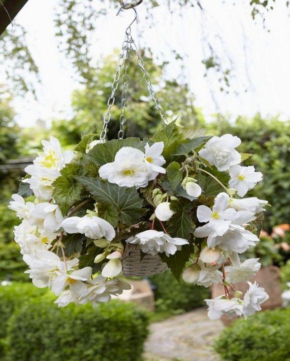 Begonia Cascade White