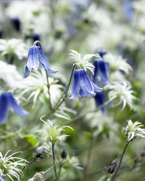 Clematis Blue Ribbons