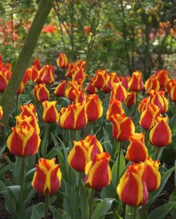 Tulip Cape Cod