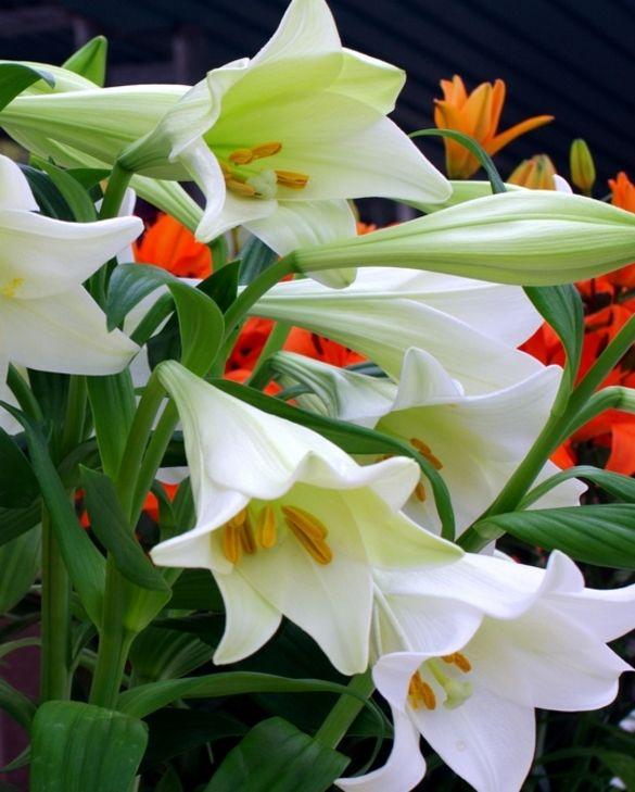 Lilium White Triumphator