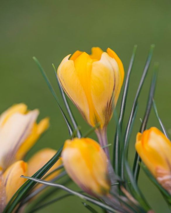 Crocus Yellow Mammoth
