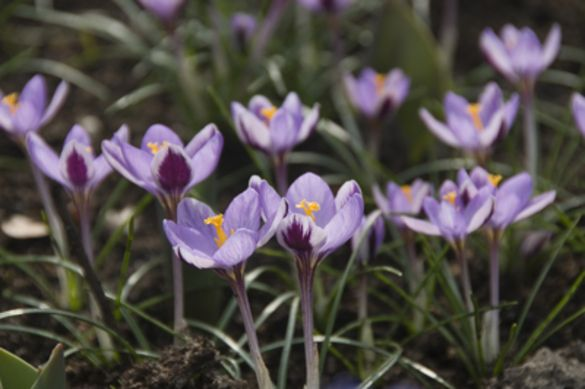 Crocus Sieberi Spring Beauty