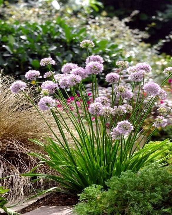 Summer Beauty: Allium Summer Beauty