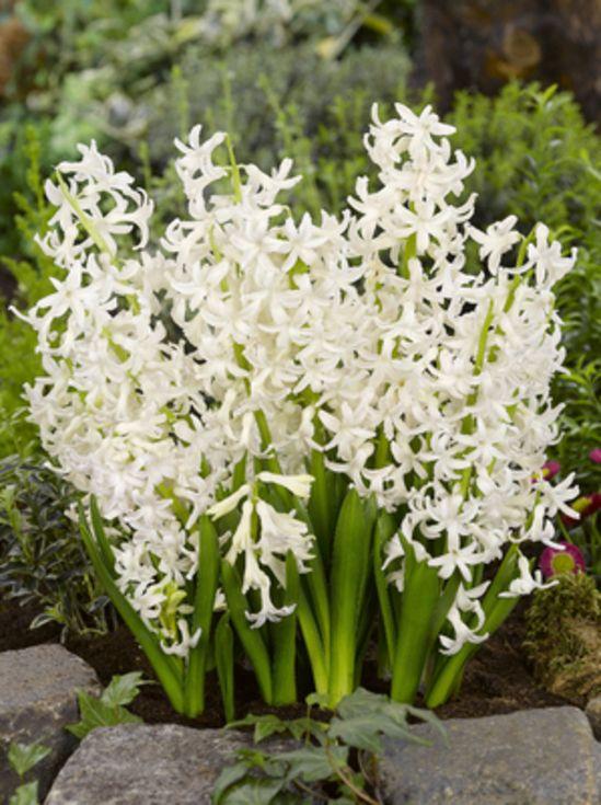 Multiflora Hyacinth White Pearl
