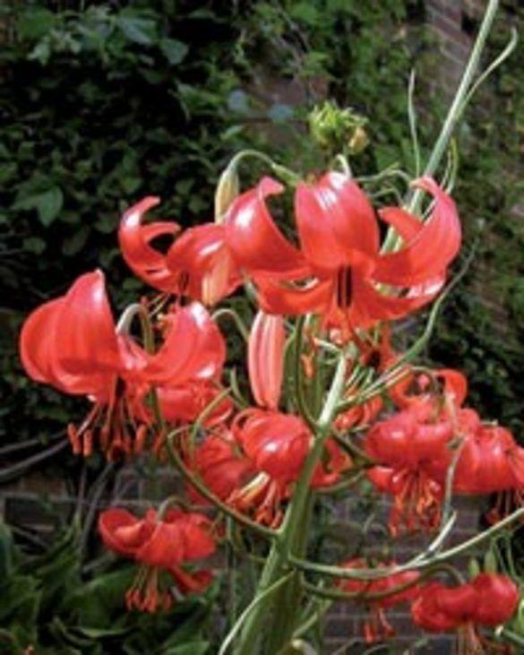 Lilie Pumilum (Tenuifolium)