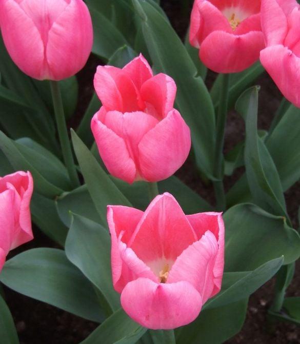 Tulip Christmas Dream