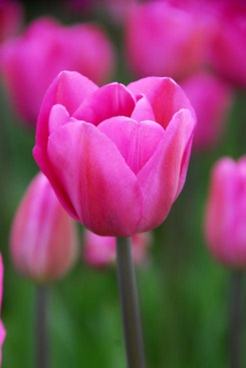 Tulip Don Quichotte