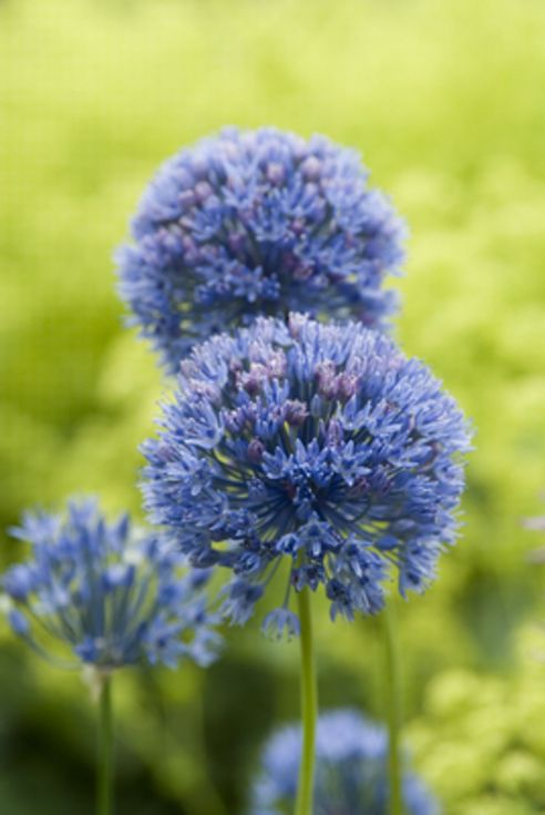 Allium Caeruleum ( Azureum)