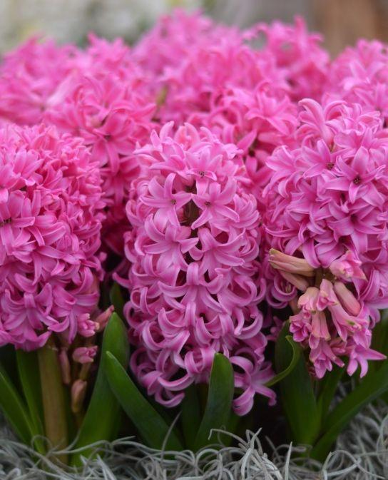 Fragrant indoor planting hyacinth pink pearl