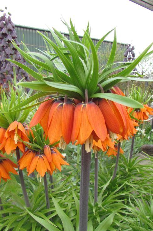 Fritillaria Crown Imperialis Aurora