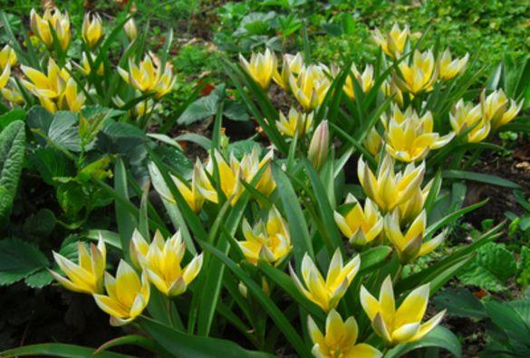 Tulip Tarda
