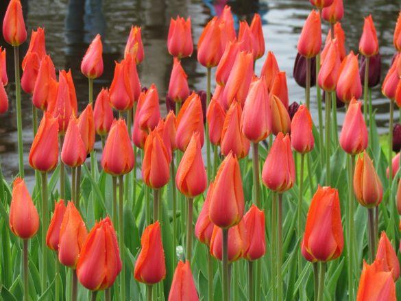 Tulip Temple of Beauty