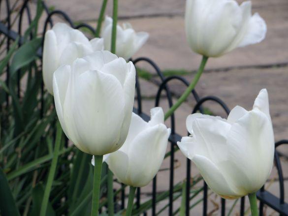 Tulip White Dream