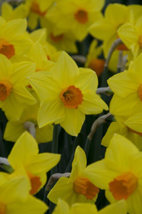 Narcissus Fortune
