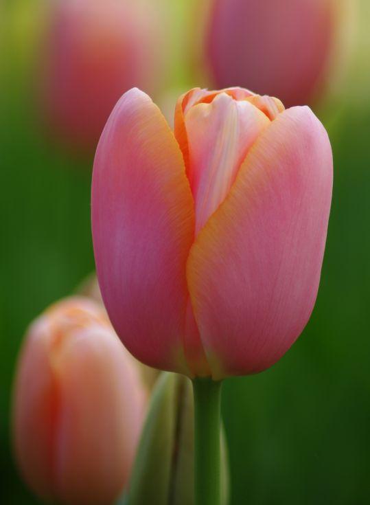 Tulip Menton 10-11cm