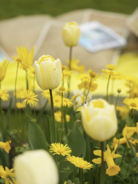 Tulip Ivory Floradale