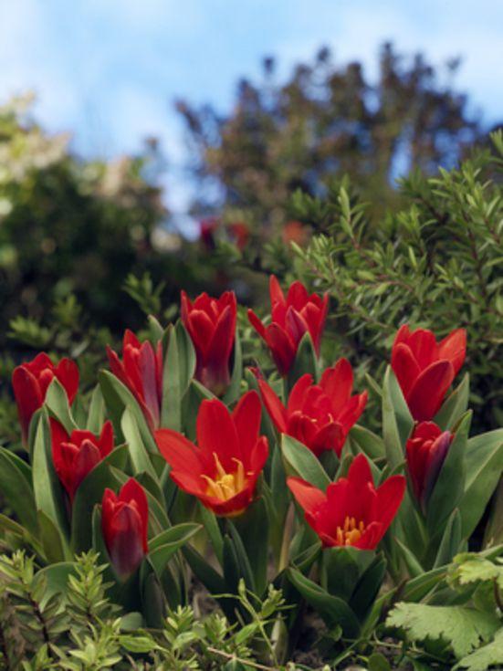 Tulip Scarlet Baby