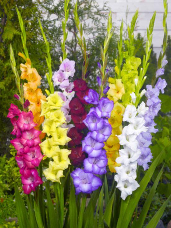 Gladiolus Mixture