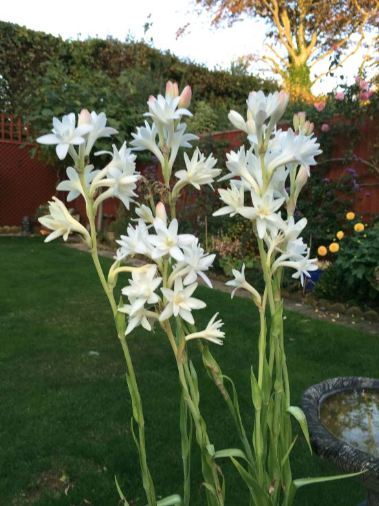 Polianthes Tuberosa (The Pearl)