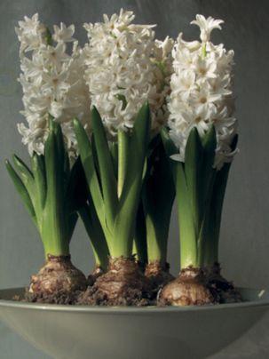 Prepared Hyacinth L'Innocence