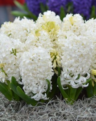 Prepared Hyacinth White Pearl