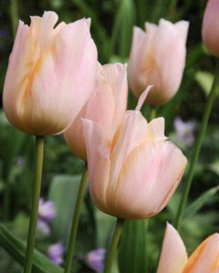 Tulip Apricot Beauty  11/12 cm