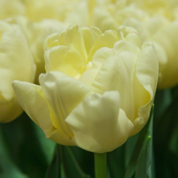 Tulip Avant Garde