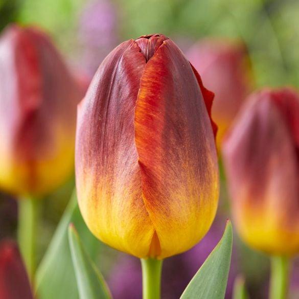 Tulip Amber Glow
