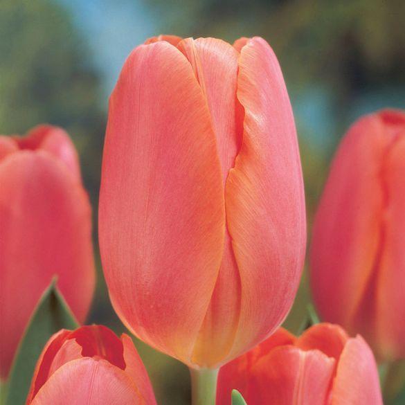 Tulip Salmon Pearl