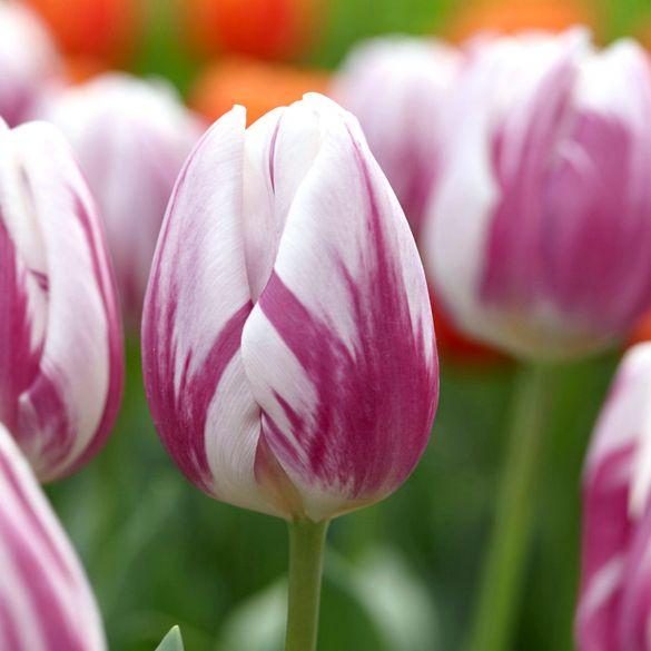 Tulip Striped Flag