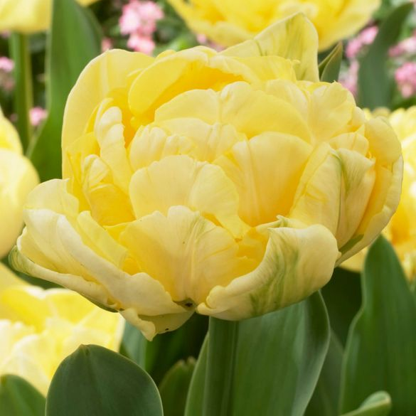 Tulip Yellow Mountain