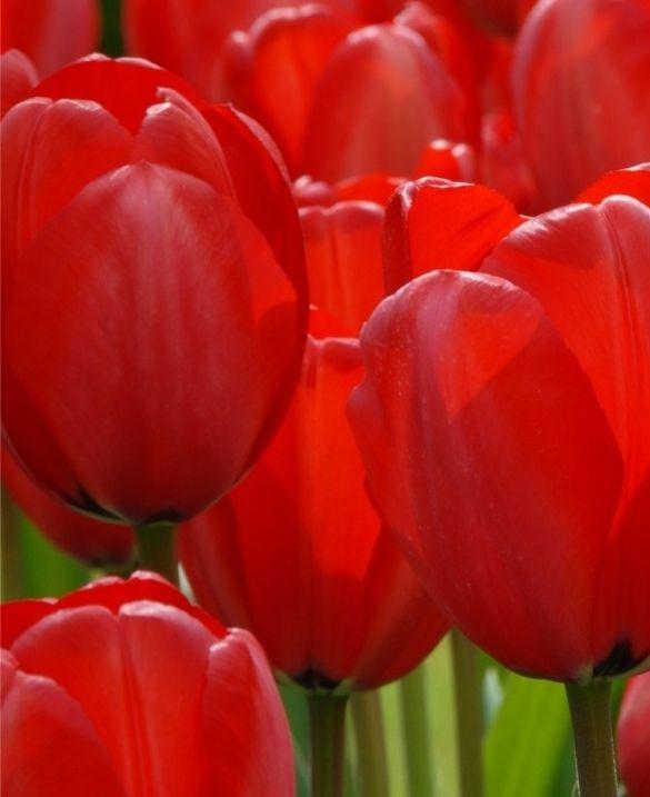 Tulip Red Impression