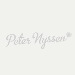 Amaryllis (Hippeastrum) Matterhorn ®