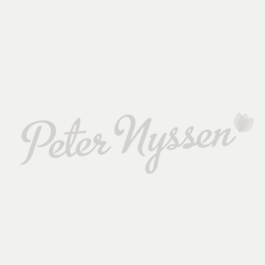 Amaryllis Matterhorn ®