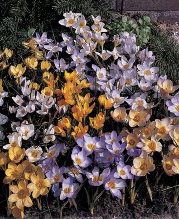 Crocus Species Mixture