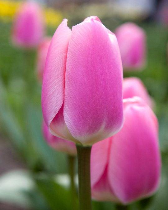 Tulip Algarve
