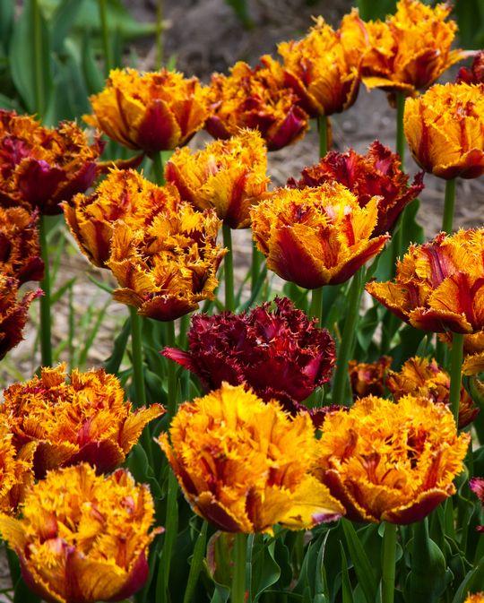 Tulip Bastia