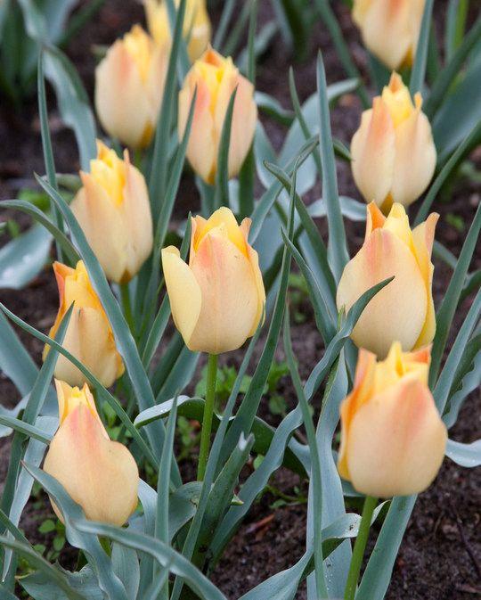 Tulip Batalini Bright Gem