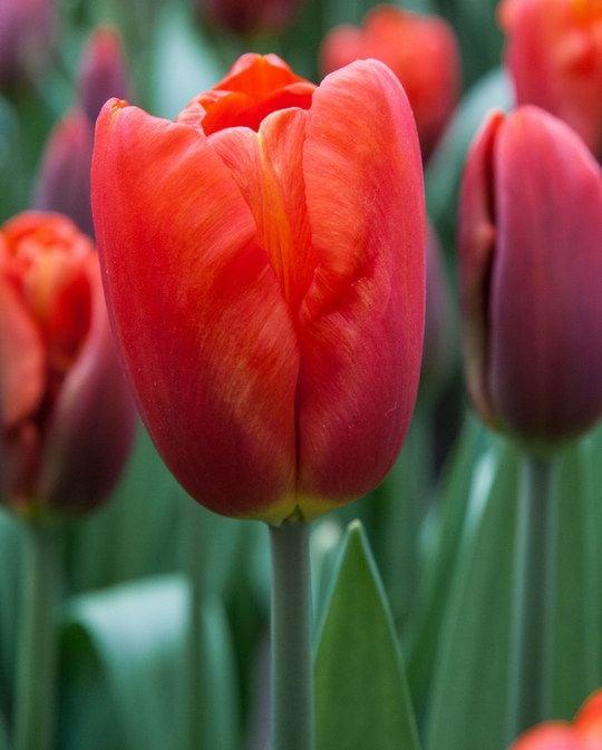 Tulip Bourbon Street